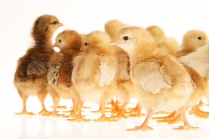 Gensoja im Futter: Die fadenscheinigen Ausreden der Geflügelwirtschaft