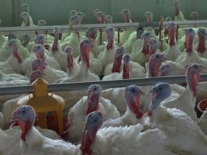 Was für Folgen ein Abkommen mit den USA für Standards in der Geflügelmast hätte, etwa bei Puten, ist unklar.  Foto: sia